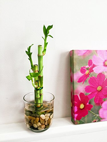 Easy Plants - 1 Jarrón de bambú con guijarros (3 tallos), Growing in Cylinder Glass Vase