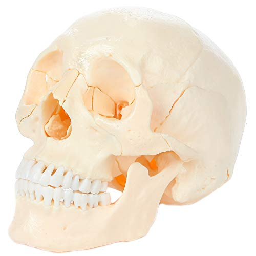 Axis Scientific 22 Part Human Skull Model, Life Size Osteopathic Replica Composed of 22 Individual...