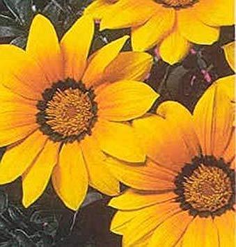 SANHOC Samen-Paket: Gazania Daybreak Series Garden Sun Annual Seeds