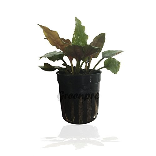 Greenpro Cryptocoryne Usteriana RED Crypt Potted Plant for Aquarium Freshwater Fish Tank