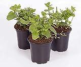 200 Stück Pfefferminz Kräuter samen Green Leaf Mint Garden Seeds gentechnikfreie Erbstück...
