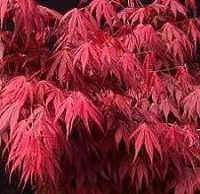 oregon sunset japanese maple