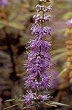 Vitex agnus-castus 250 semillas