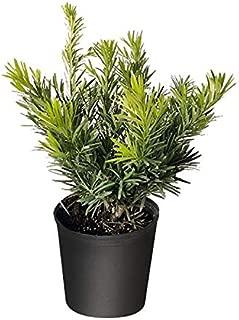 PlantVine Podocarpus macrophyllus 'Dwarf Pringles', Japanese Yew - Large - 8-10 Inch Pot (3 Gallon), Live Plant