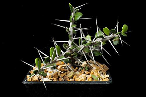 GEOPONICS 45 + * tic Marigold Mix * * Polinators zieht * Schützt Veg
