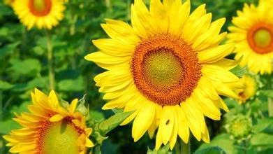 Graines de fleurs Aquilegia de viridiflora, graines de colombin pourpre, graines de fleurs, à environ 100 particules ``