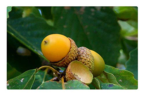 LESGAULEST Doormat Floor Rug/Mat (23.6 x 15.7 inch) - Acorn Cluster Oak Seed Nut Green Leaf Beginning