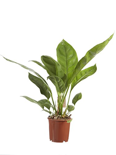 Anthurium Jungle King   plante d'intérieur  hauteur 60 cm   Pot 14 cm   Entretien facile