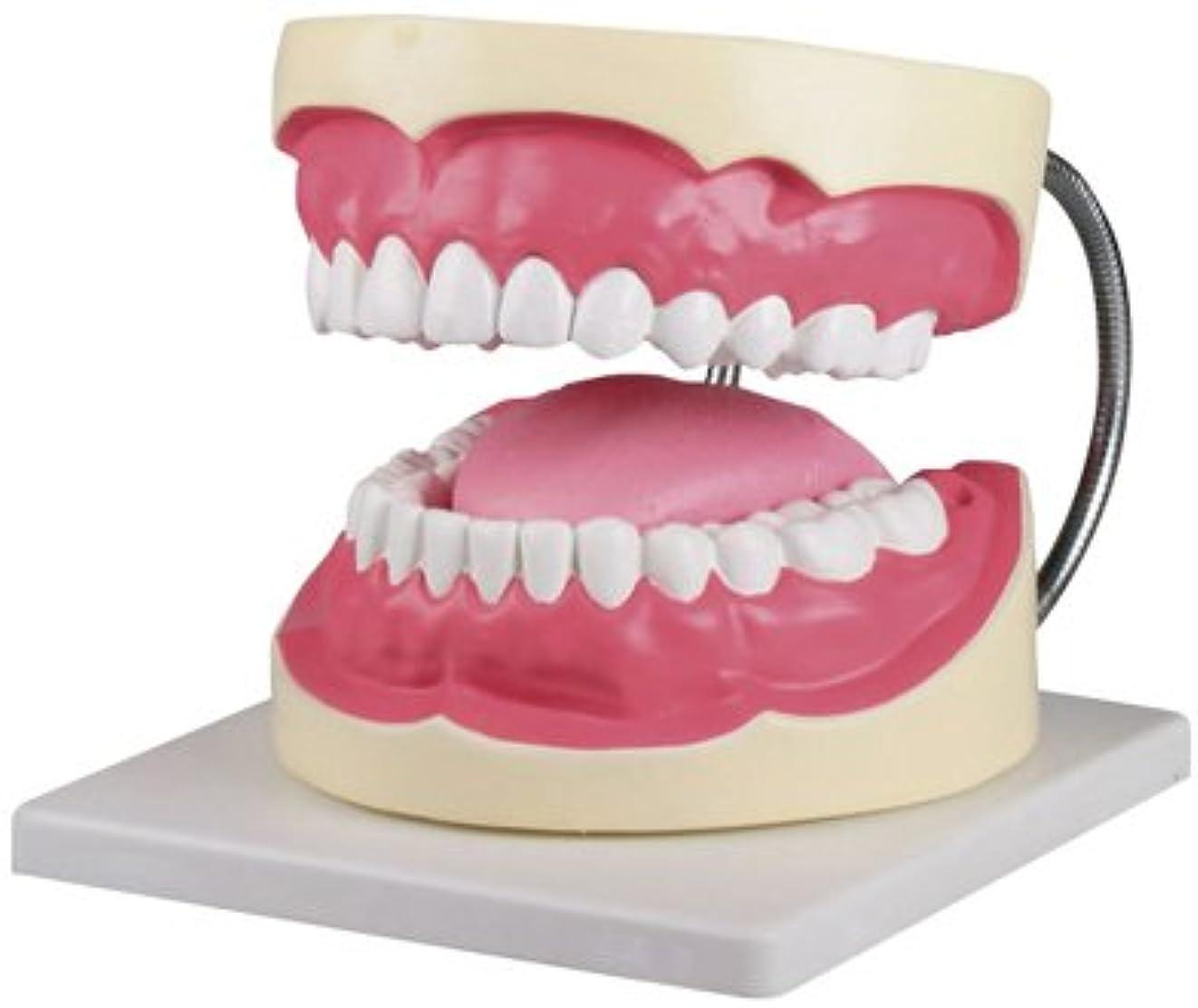 賢いタンパク質初期歯磨き(口腔ケア)指導模型3倍大 D216 ?????(??????)???????(24-6839-01)【エルラージーマー社】[1個単位]