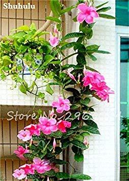 50 Pcs / sac Rare Dipladenia Sanderi Graines vivaces Escalade Mandevilla Sanderi fleurs en plein air d'ornement Bonsai Plant Garden 6