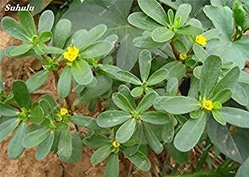 Pourpier graines Herbes de cuisson comestible valeurs médicinales Facile d'entretien légumes bonsaï Plantes ornementales Blooming Garden 100 Pcs