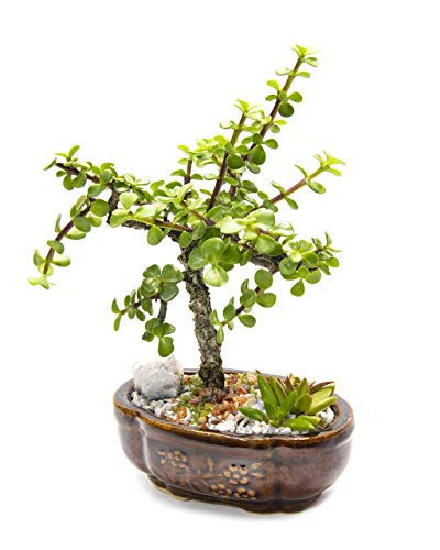 Creations by Nathalie - Live Dwarf Jade Plant Mini Bonsai Tree with Ceramic Base, Succulents, Decorative Rocks & Healing Crystals - Florida-Grown Jade Bonsai Tree Indoor Decor