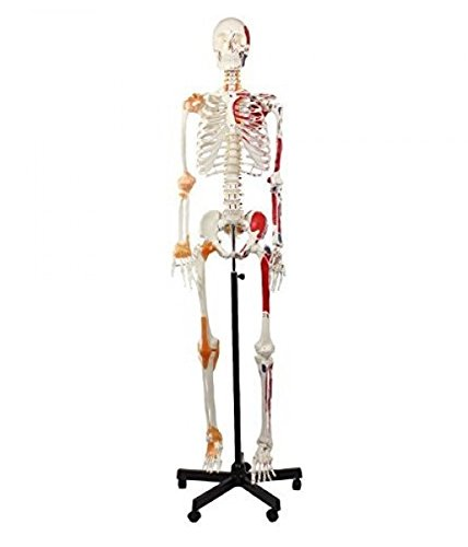 Wellden Product Anatomical Human Muscular Skeleton Model, w/Ligament, Numbered, Life Size 170cm