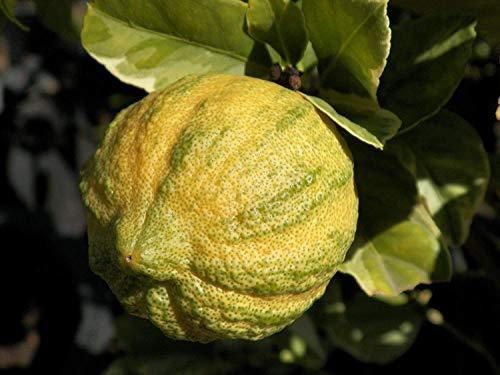 Potseed Keimfutter: 5 Pick-Limonade Lemon Seeds