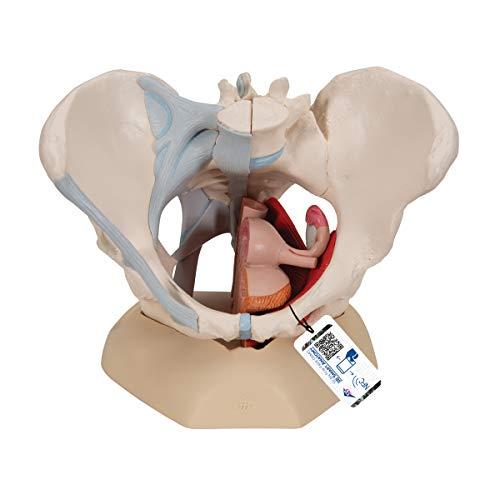 3B Scientific Menschliche Anatomie - Weibliches Becken mit Bändern mit Medianschnitt durch Beckenbodenmuskulatur und Organe, 4-teilig + kostenloser Anatomiesoftware - 3B Smart Anatomy