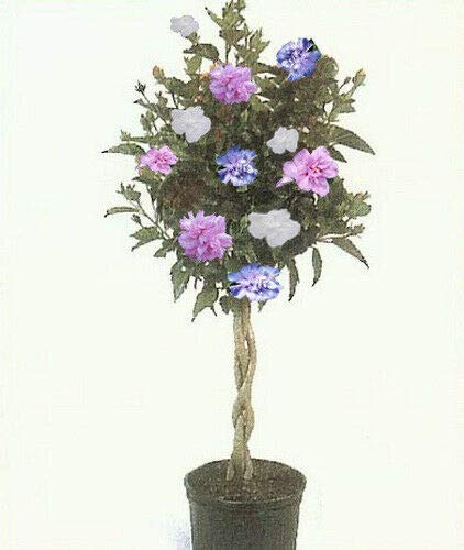Rose of Sharon Hibiscus Tree 3-N-1 Plant Colors 1-2 Ft Dormant Flower Tree Planting