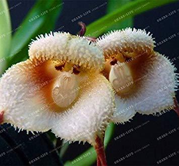 Vista 100 stücke 5 arten Niedlichen Affengesicht Orchidee Samen Affe Orchidee Bonsai pflanzen Blumen Samen für haus & garten Freies Verschiffen 2