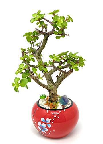 Live Dwarf Jade Plant Mini Bonsai Tree with Ceramic Base, Decorative Rocks & Healing Crystals - Florida-Grown Jade Bonsai Tree Indoor Decor (Red)