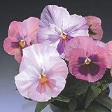 50個のパンジー種子デルタピンクの色合いの花の種