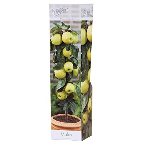 Säulenobst (Sorte: Säulen-Apfelbaum Malus Golden Delicious)