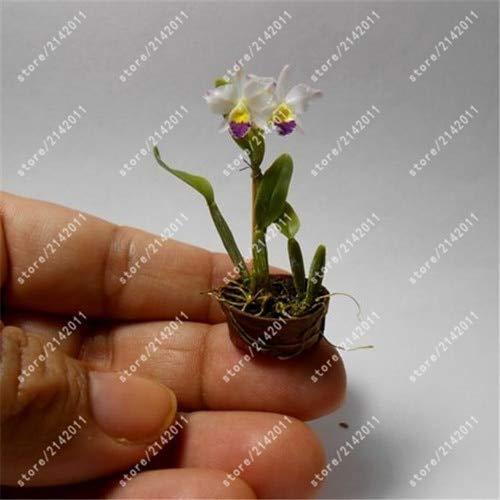 GETSO 100 PC/Bag Mini-Orchideen Phalaenopsis-Orchideen Topf Bonsai Blume Zimmerpflanze seltene Topf Orchidee für Miniatur-Garten: 14