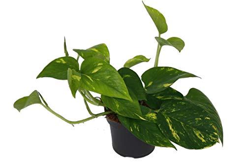 Efeutute, Scindapsus, (Epipremnum aureum) Sorte: Aureum, gelb-grünes buntes Blattwerk, rankend, Ampelpflanze, luftreinigend (eine Pflanze im 12cm Topf)