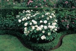 'Winchester Cathedral' -R-, Englische Rose im 4 L Container