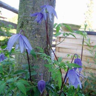 Clematis alpina - Schöne Kletterpflanze