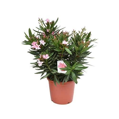 Mein schöner Garten Nerium Oleander rosa - 1er-Set - Liefergröße ca. 55-60cm - Oleander - Kübelpflanze - mediterran