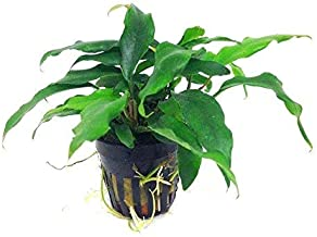 Premier Plants Aquarium LIVE Plants - Anubias minima