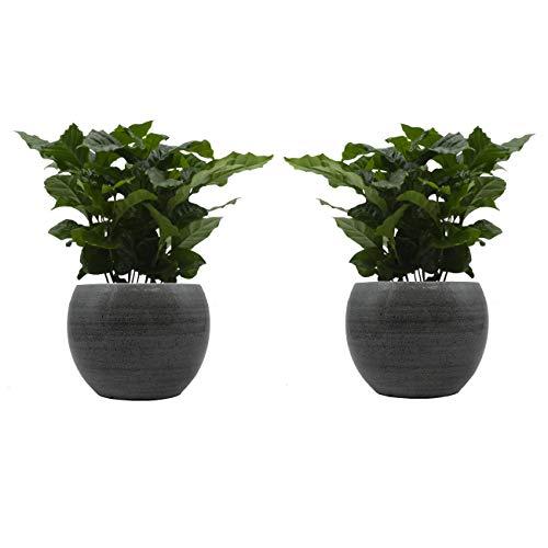 Kaffee-Pflanzen-Duo mit handgefertigtem Keramik-Blumentopf