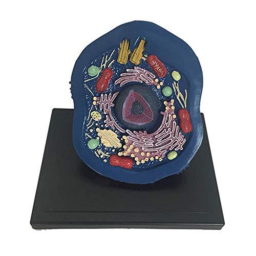 Huili Zellanatomiemodell - Tiermodell mikroskopische Exemplare Zellanatomie Modell vergrößerte Zellstruktur Modell - für medizinische Erziehungshilfe