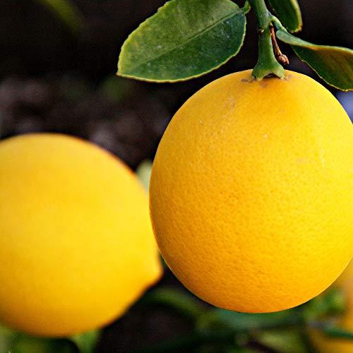早成り大実レモン(育てやすく寒さに強い!マイヤーレモン)の苗木【果樹苗 21cmポット 2年生 接木苗/1本/即出荷】(鉢植えなのでほぼ年中植付け可能)鉢植えでも簡単に栽培でき普通のレモンの実と比べると約1.5倍程度の大実で、酸味が少なく果汁が多い!皮も薄く、苦味が少ない美味しいレモン!苗木の耐寒温度は-4℃程度です。生育温度:12~30℃。(耐寒性はあくまで目安です。毎年の気候や地域により変わります)【自社農場から新鮮苗直送!!】【即出荷】
