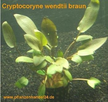 10 Töpfe Cryptocoryne wendtii braun, Wasserpflanzen