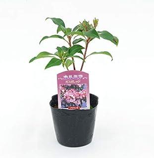 (株)赤塚植物園 ① カルミア 3.5号苗 オスボレッド 苗