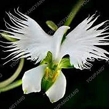 Vista Rouge: 100 graines/paquet Japanese Radiata Seeds Graine d'orchidée de White Egret Des espèces rares d'orchidées du monde Fleurs blanches Orchidee Garden Plant Red