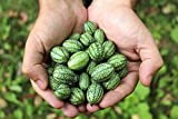 Mouse Melon Seeds | 20 Pack of Seeds | Grow This Exotic and Rare Garden Fruit | Cucamelon Seeds, Tiny Fruit to Grow