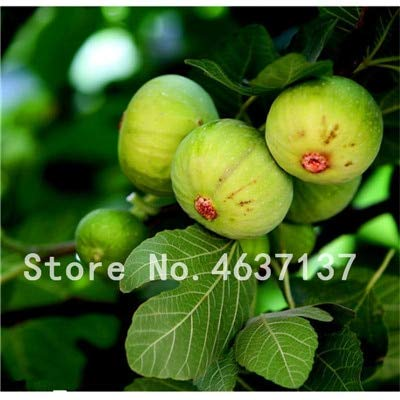 SANHOC 100 Stück Tropische Feigenfrucht Bonsai Mini Feigenbaum Bonsai Pflanze Seltene Süße Frucht-Bonsai für Home Farm Pflanz 98% Keimung: l