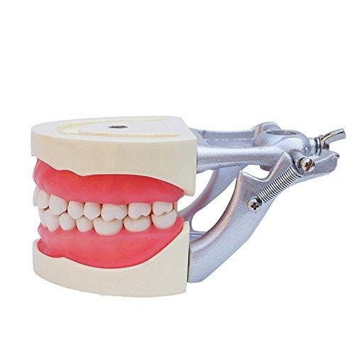 Denshine Dental Modell Removable Zähne Teach Studie Adult Standard Typodont Demonstration (Soft Gum)