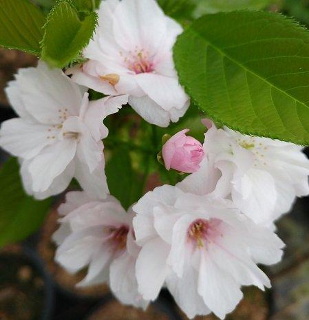 Zierkirsche `Amanogawa´, Prunus serrulata, 120-140cm, im Topf