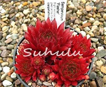 GEOPONICS 100 PC Erstaunlich Sempervivum Samen Mixed Mini Garden Succulents Samen -Haus Porree Live Forever Einfach 3 To Grow