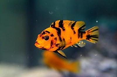 Pair of OB Red Blotch Zebra African Cichlid - Live Tropical Aquarium Fish