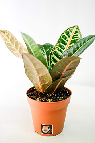 Pacific Tropicals &Succulents -Croton Petra -Live Indoor Plant-Ships in 4 inch...