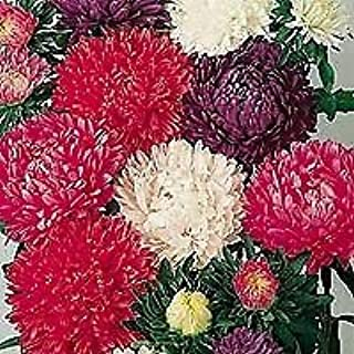 Aster Milady Mix 2,000 Seeds