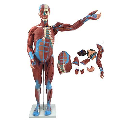 ZXCVBAS 85 Cm Modelo De Cuerpo De Torso Humano Anatomía Anatomía Anatómica Órganos Internos Modelos Modelo De Anatomía Muscular Desmontable Modelo Anatómico del Cuerpo Humano con Músculos
