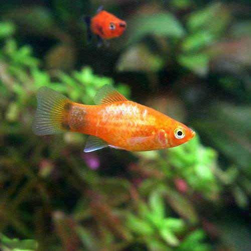 (熱帯魚)レッド・ミッキーマウスプラティ(4匹) 北海道・九州航空便要保温