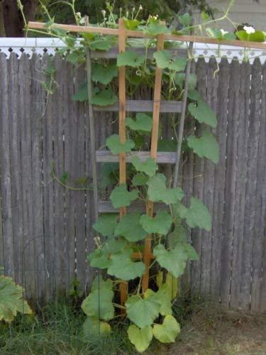 Klettern Zucchini Samen Patio Sommer-Kürbis-Samen 15 Samen