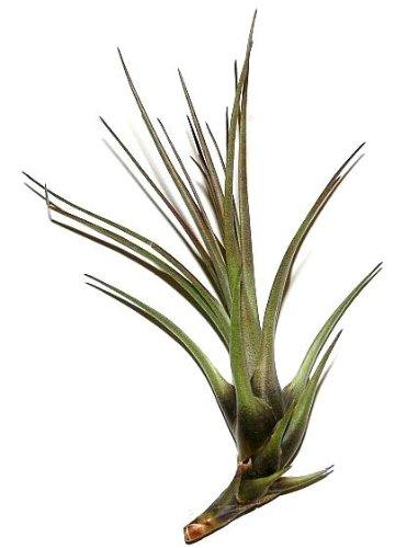 1 Tillandsia pohliana, Tillandsien für Terrarien, Aufsitzerpflanzen