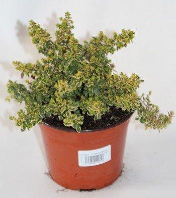 Sin marca Tomillo Limon (Maceta 10,5 cm Ø) - Planta Viva - Planta aromatica