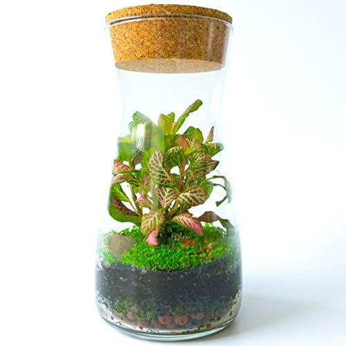 Fittonia Moss Terrarien-Set aus transparentem Glas mit rundem Korkdeckel, offen oder geschlossen, für drinnen und draußen, 19 cm Höhe, Kit with Dwarf Baby Tear Seeds & Fittonia